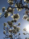 Magnolia. In sunshine looks like white jade just like its Chinese name Stock Photo