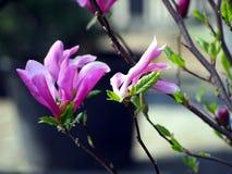 Magnolia 'Susan', Royaltyfria Foton