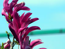 Magnolia 'Susan' Stock Photo