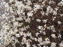 magnolia (Sweetbay) boom stock foto's