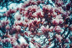Magnolia in swirly royalty free stock photography