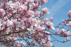 Magnolia Tree Stock Photography