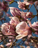 Magnolia tree. Starting to blossom in spring Royalty Free Stock Photo