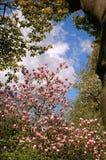 Magnolia tree Stock Images