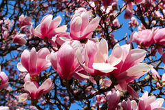 Magnolia tree. Blooming magnolia tree with blue sky background Stock Images