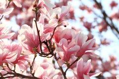 Magnolia tree Royalty Free Stock Photo
