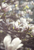 Magnolia tree. Blossoming of magnolia flowers in spring time, selective focus Royalty Free Stock Photography