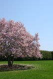 Magnolia Tree. Beautiful magnolia tree in full bloom Royalty Free Stock Photography