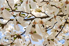 Magnolia tree. Background Royalty Free Stock Photography