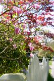 Magnolia tree. Spring blooming magnolia tree with beautiful pink blossoms; white picket fence stock photography