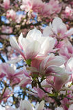 Magnolia-tree. Blossoming twig of magnolia-tree (on blossom tree background Stock Photos