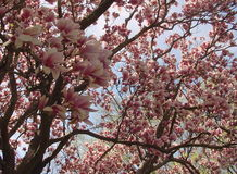 Magnolia Tree. With sky royalty free stock photos