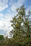 Magnolia tree against a blue sky. And clouds Royalty Free Stock Photography