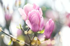 Magnolia tree with beautiful flowers outdoors, closeup. Amazing spring blossom royalty free stock image