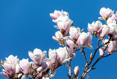 Magnolia Flowers Against Blue Sky Royalty Free Stock Photo