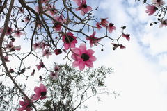 Magnolia Tree in Bloom against Spring Sky. Magnolia blooms against a bright winter sky Royalty Free Stock Image