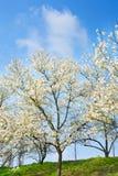 Magnolia tree bloom Stock Images