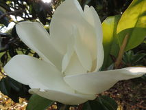 Magnolia tree bloom Royalty Free Stock Photography