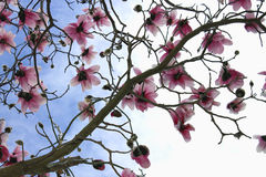 Magnolia Tree in Bloom. A magnolia tree bursting with blooms Royalty Free Stock Images