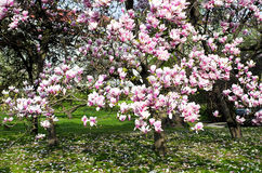 Magnolia tree in bloom in the garden Royalty Free Stock Image