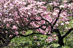 Magnolia tree in bloom Stock Photography