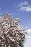Magnolia tree in bloom. Many tender flowers. Background royalty free stock images