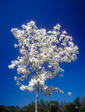 Magnolia tree in bloom. Magnolia (magnolia soulangeana) tree in bloom against a clear blue sky Stock Photos