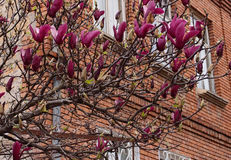 Magnolia tree in bloom Royalty Free Stock Image