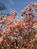 Magnolia tree in bloom in Washington DC Stock Image