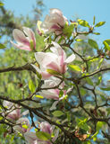 Magnolia tree. Blooming magnolia flowers on the tree Stock Images
