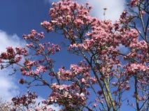 Magnolia tree. A blooming magnolia tree, Kew gardens, london royalty free stock image