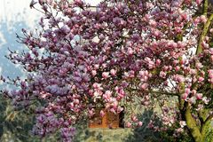 Magnolia tree blooming in springtime Royalty Free Stock Photo