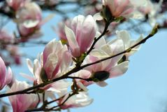 Magnolia tree blooming on a sunny day royalty free stock photography