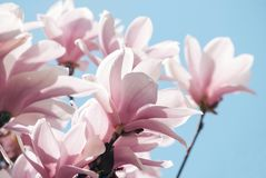 Magnolia tree blossom against blue sky Stock Photo