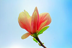 Magnolia tree blossom. Applied photo toning effect Stock Images