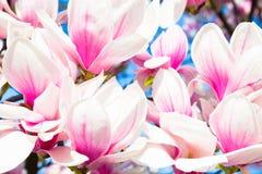 Magnolia tree blossom. Royalty Free Stock Photos