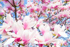 Magnolia tree blossom. Beautiful magnolia tree blossom in spring time Royalty Free Stock Image