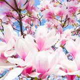 Magnolia tree blossom. Royalty Free Stock Images