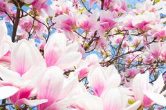 Magnolia tree blossom. Royalty Free Stock Images