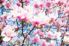Magnolia tree blossom. Stock Photos