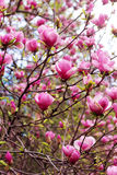 Magnolia tree blossom. Blooming magnolia tree in springtime. Shallow depth of field Royalty Free Stock Images