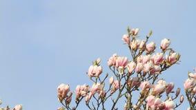 Magnolia tree blossom, blue sky, copy space. Magnolia tree blossom against blue sky stock video