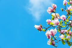 Magnolia tree in blossom on blue sky Royalty Free Stock Photography