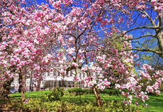 Magnolia Tree Blossom in City Hall Park in Lower Manhattan Royalty Free Stock Photos