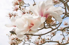 Magnolia tree blossom. Close up background Royalty Free Stock Images