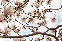 Magnolia tree blossom. Close up background Royalty Free Stock Photography