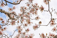 Magnolia tree blossom. Close up background Stock Images