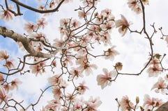 Magnolia tree blossom Stock Images