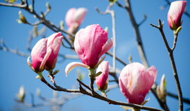 Magnolia tree blossom. Closeup view of purple pink blooming magnolia. Beautiful spring bloom. Delicate magnolia flowers. Royalty Free Stock Photo