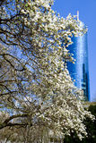 Magnolia tree blossom in front of a skyscraper Royalty Free Stock Photo